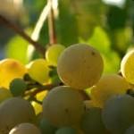 semillas de uva para la diabetes